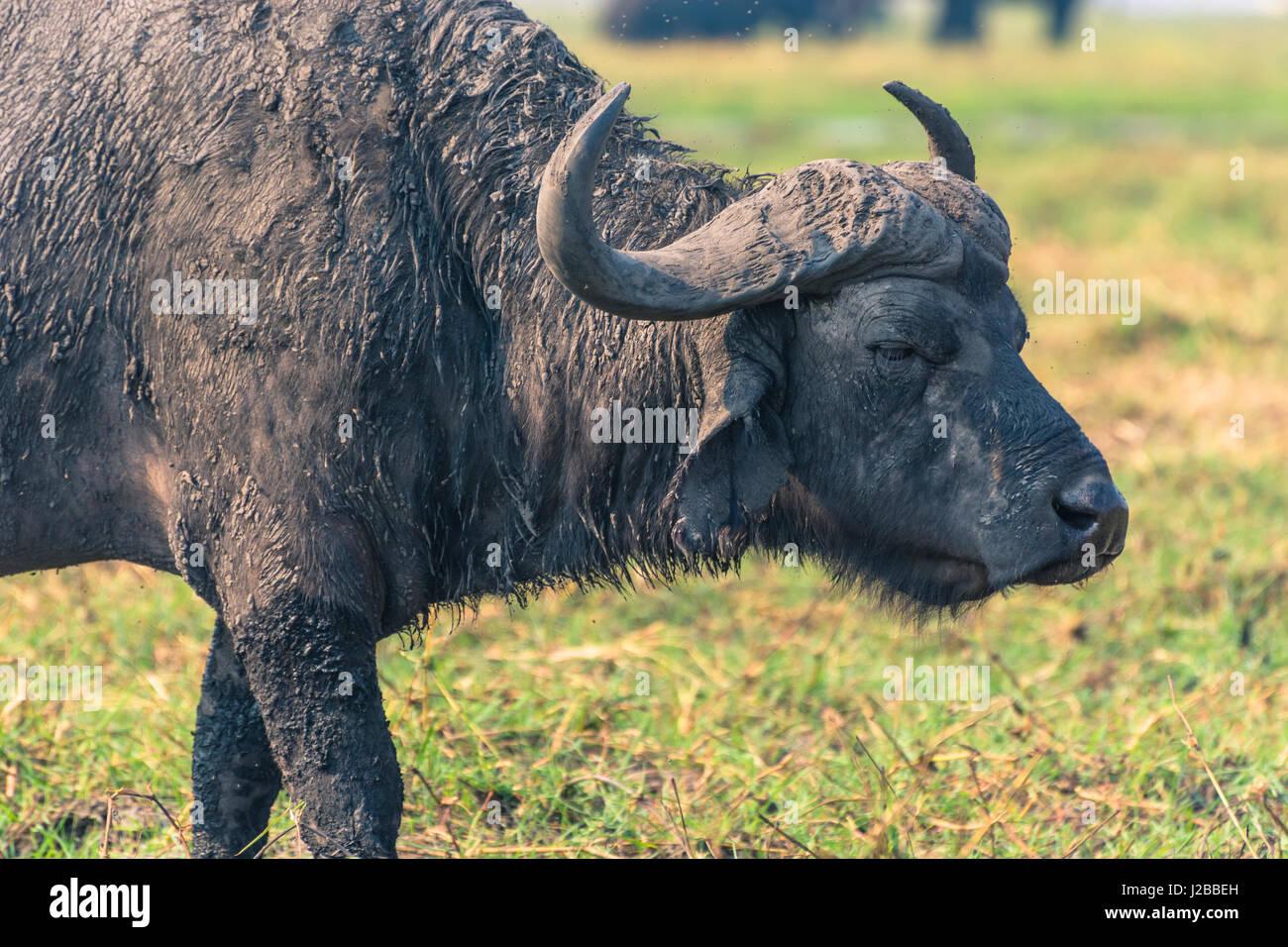Botswana. Chobe National Park. Alte männliche Kaffernbüffel (Syncerus Caffer) am Ufer des Chobe Flusses. Stockbild