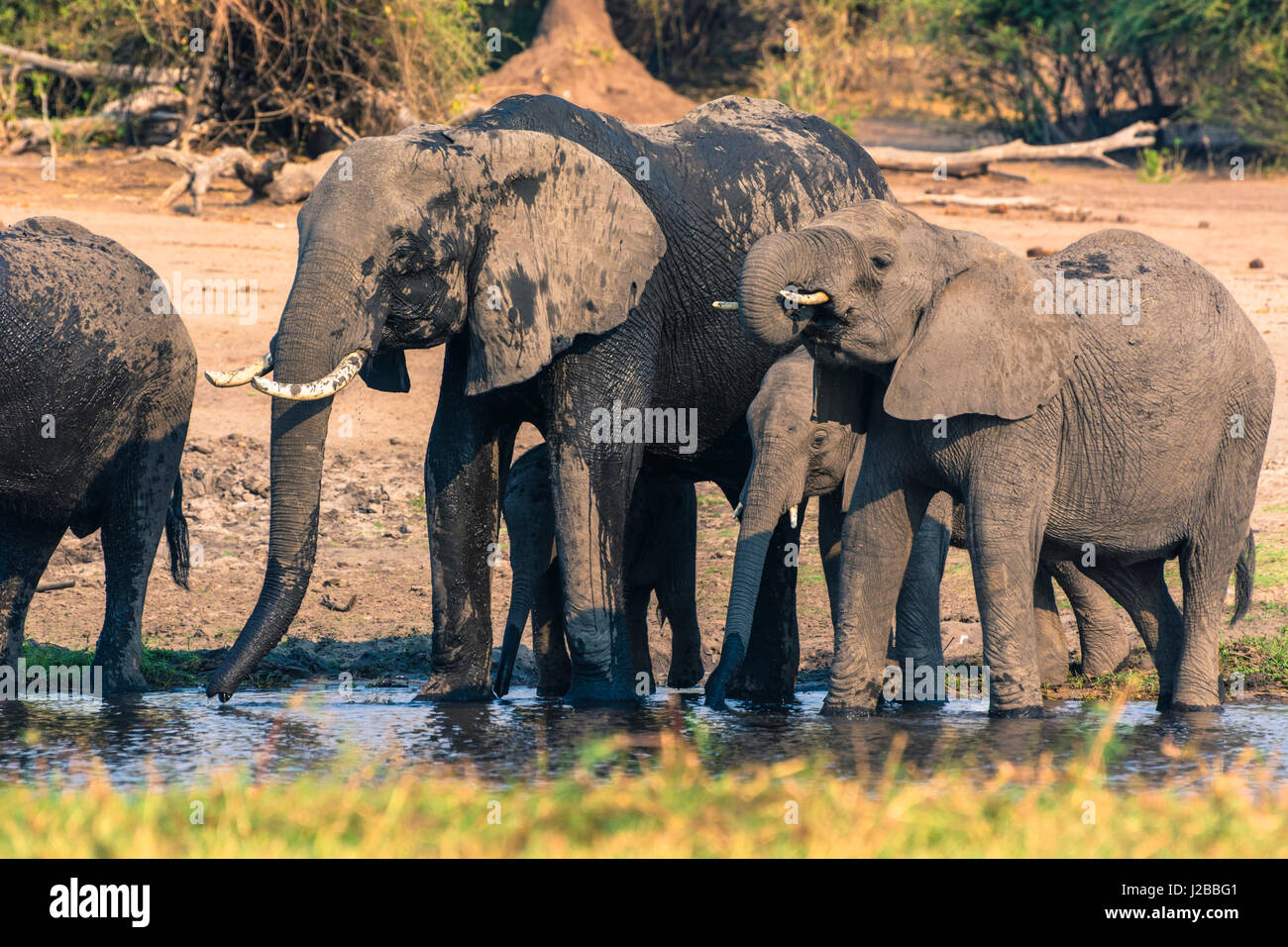 Botswana. Chobe National Park. Elefanten (Loxodonta Africana) im Chobe Fluss trinken. Stockbild