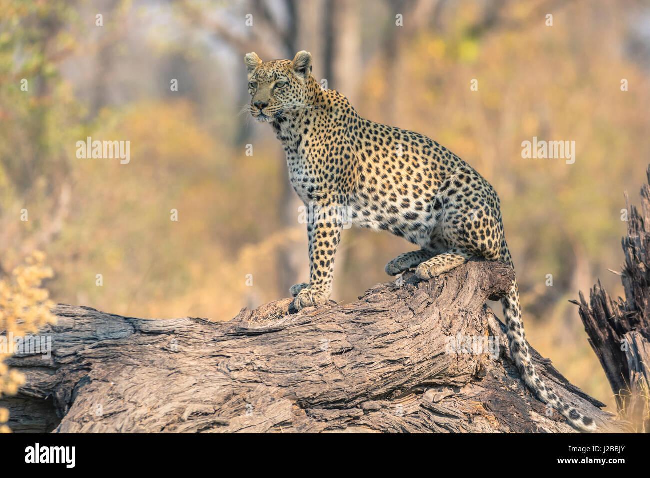 Botswana. Okavangodelta. Khwai-Konzession. Leopard (Panthera Pardus) sucht Beute auf einen umgestürzten Baumstamm. Stockbild