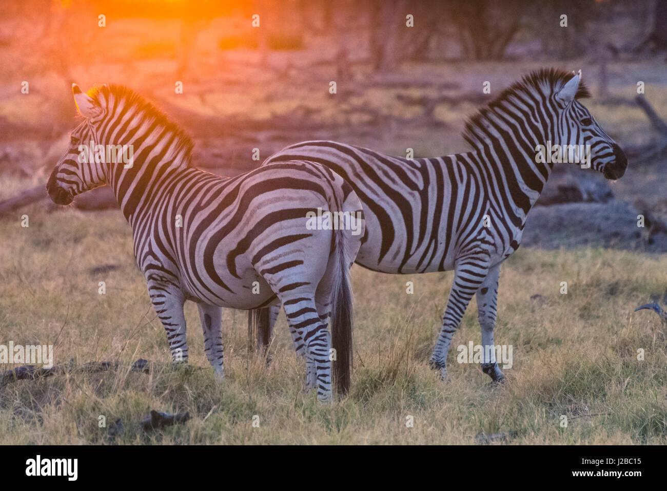 Botswana. Okavangodelta. Khwai-Konzession. Burchell Zebra (Equus Quagga Burchellii) bei Sonnenaufgang Stockbild