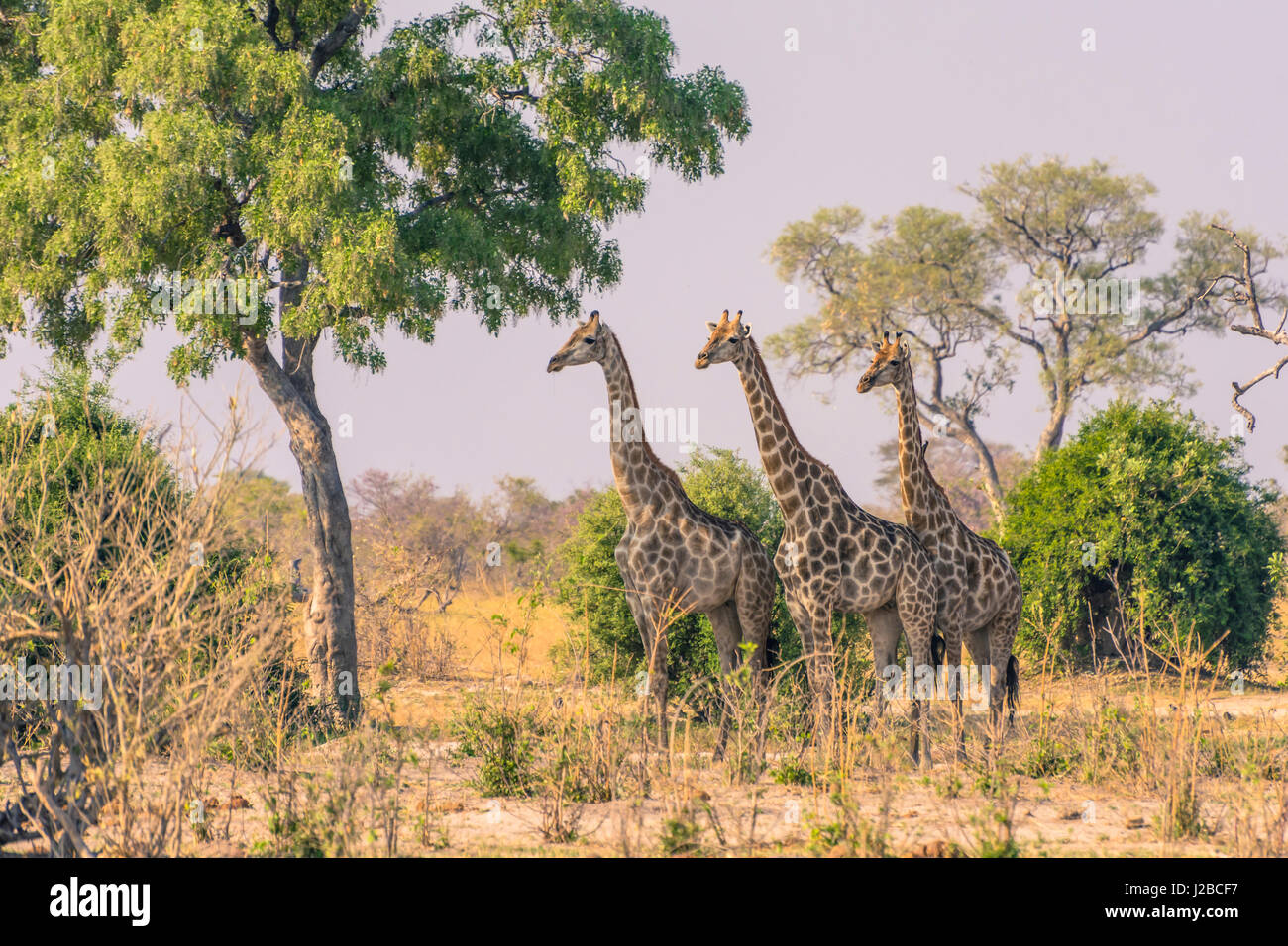 Botswana. Chobe National Park. Savuti. Giraffen aufmerksam beobachten einen versteckten Löwen im Busch. Stockbild