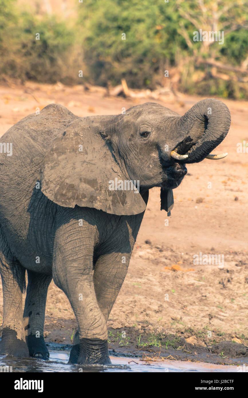 Botswana. Chobe National Park. Elefant (Loxodonta Africana) im Chobe Fluss trinken. Stockbild