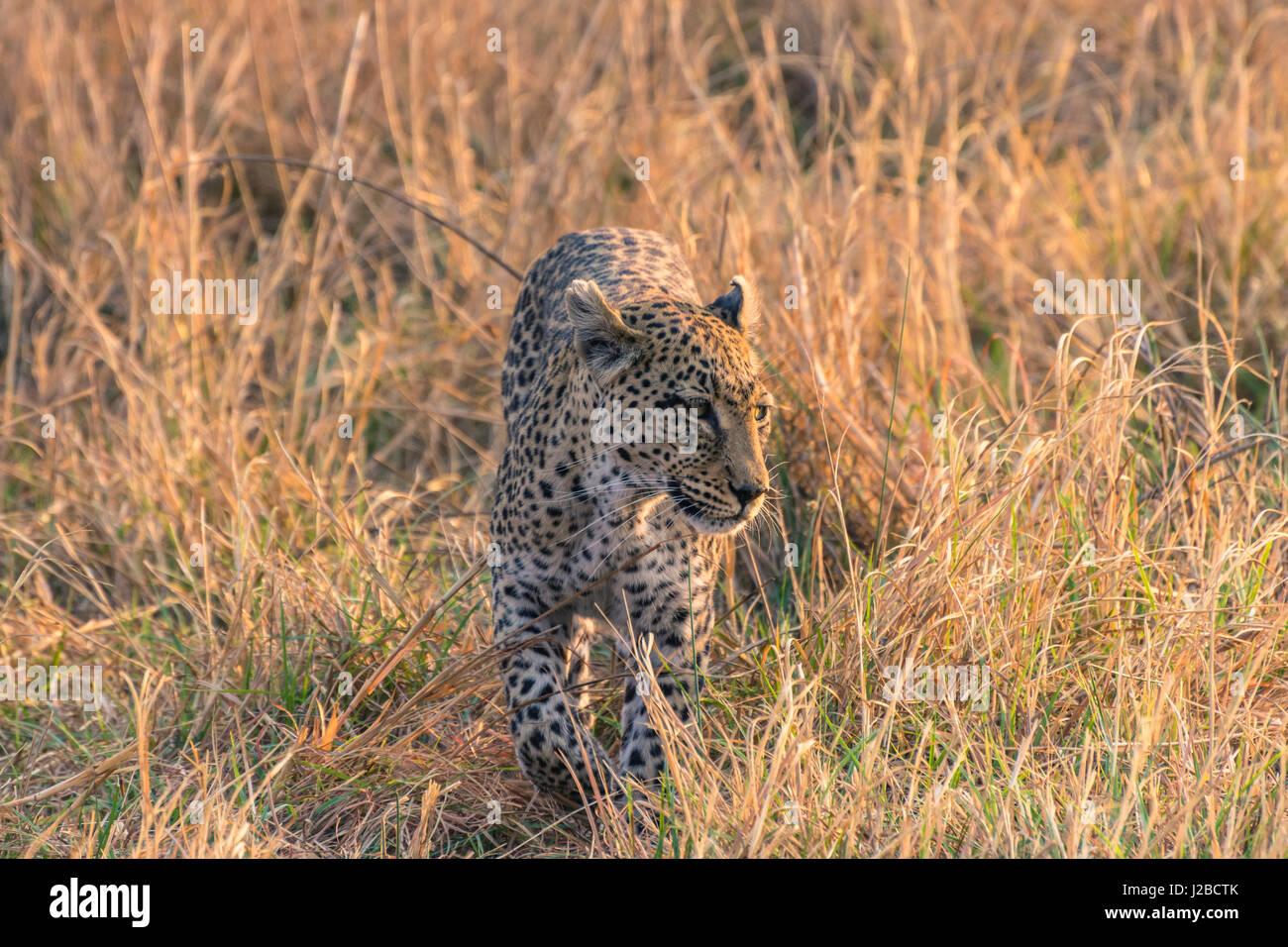 Botswana. Okavangodelta. Khwai-Konzession. Weibliche Leoparden (Panthera Pardus) in die hohe Gräser. Stockbild