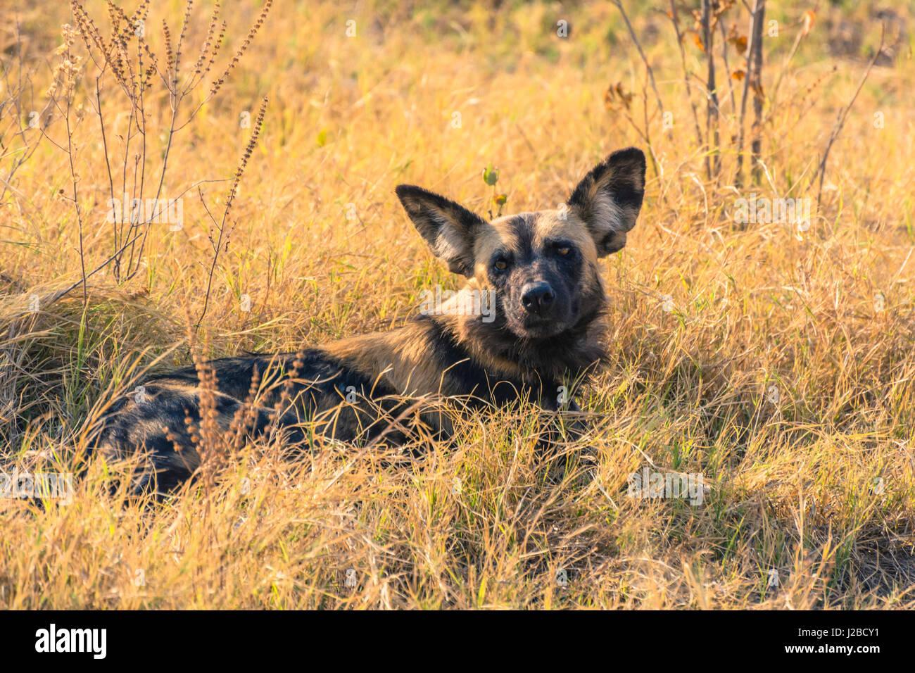 Botswana. Okavangodelta. Khwai-Konzession. Pack von afrikanischen Wildhunden (LYKAON Pictus) ruht. Stockbild
