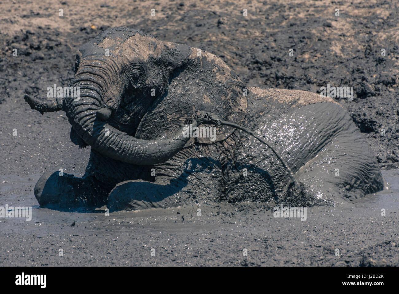 Botswana. Chobe National Park. Savuti. Elefanten (Loxodonta Africana) Schlamm auf sich selbst auf ein Schlammloch Stockbild