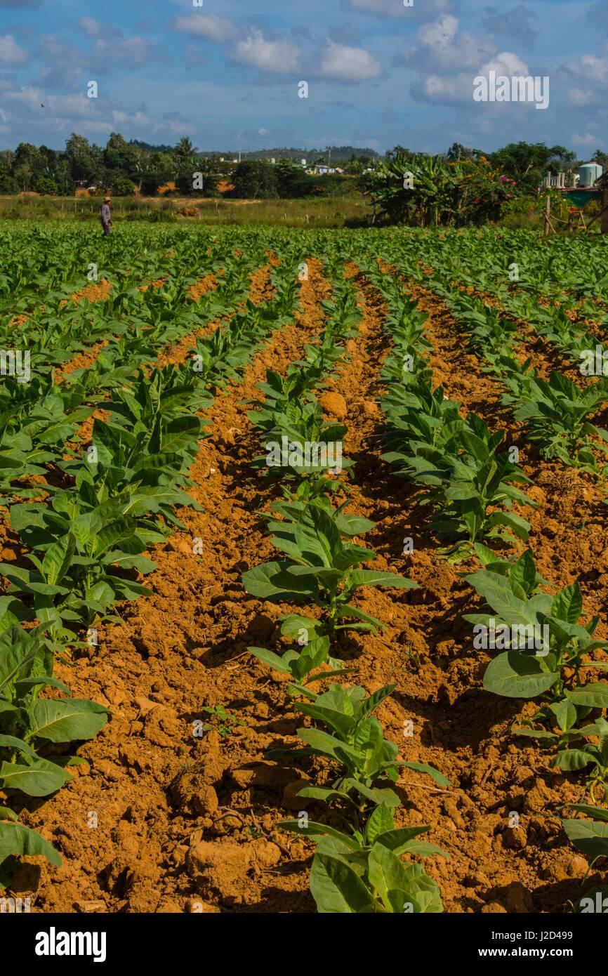 Kuba. Pinar Del Rio. Vinales. Landwirt zu Fuß durch ein Feld von Tabak. Stockbild