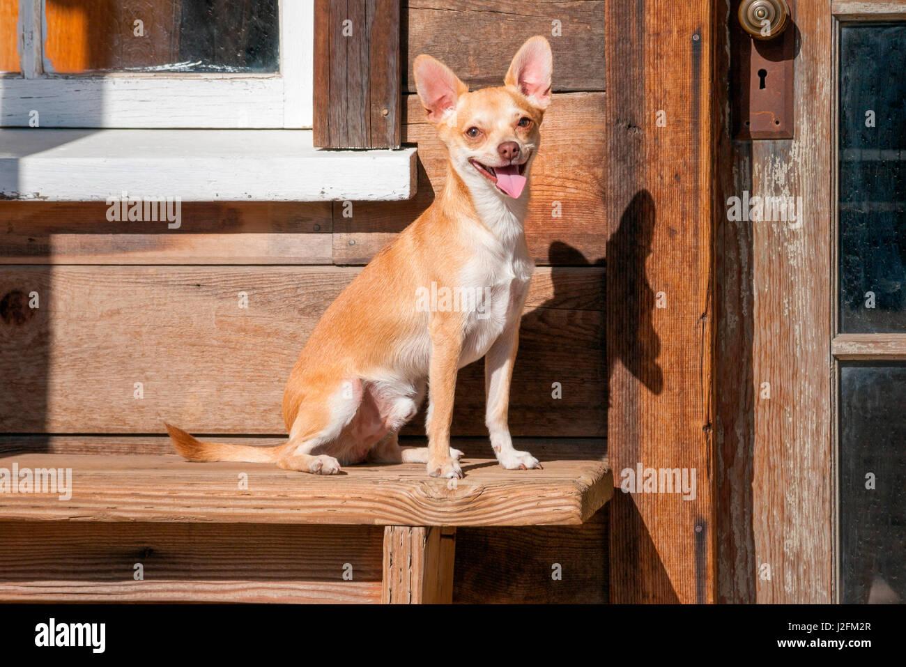 Chihuahua suchen Stockbild