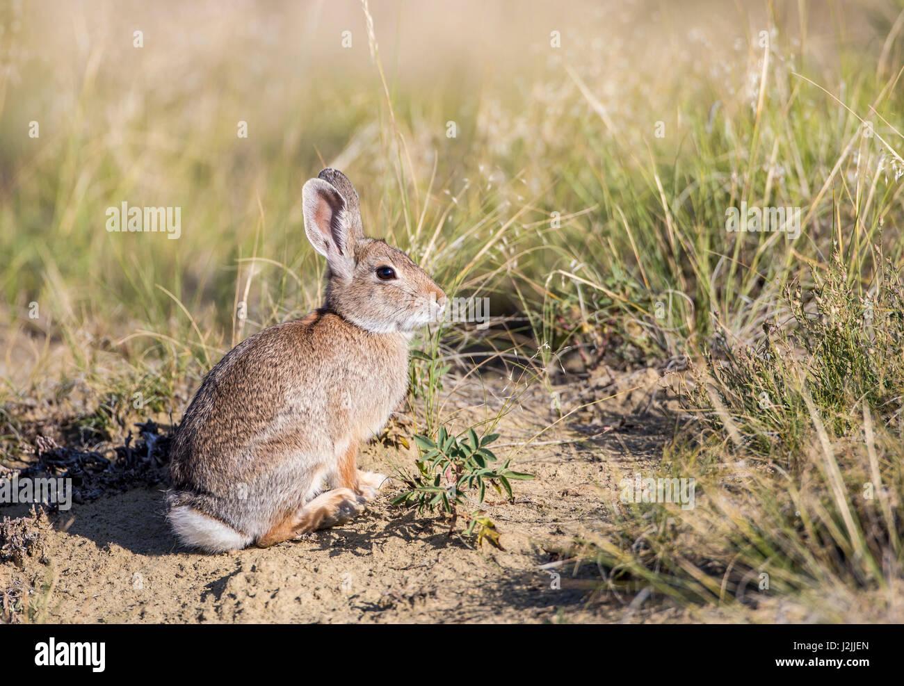 USA, Wyoming, Sublette Grafschaft Cottontail Kaninchen Stockbild