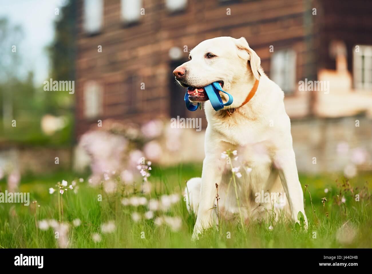 Niedlichen Hund (Labrador Retriever) mit Leine wartet Spaziergang vor dem Haus. Stockbild