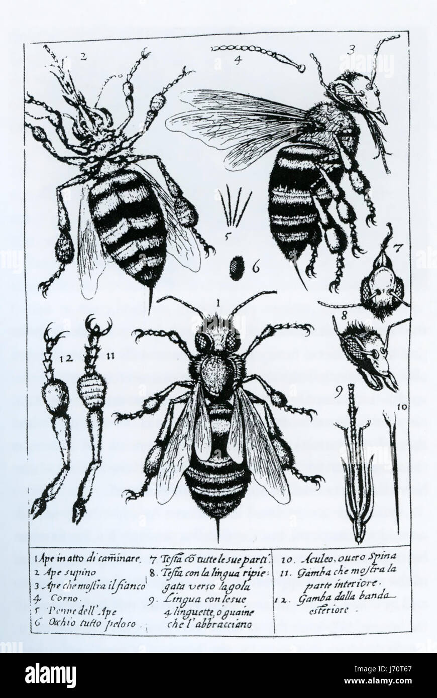 """FRANCESCO STELLUTI (1577-1652) italienischer Universalgelehrter. Mikroskop-Zeichnungen aus seiner 1630 Buch """"Persio Stockbild"""