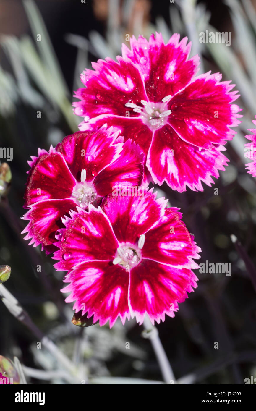 red white dianthus flowers stockfotos red white dianthus flowers bilder alamy. Black Bedroom Furniture Sets. Home Design Ideas