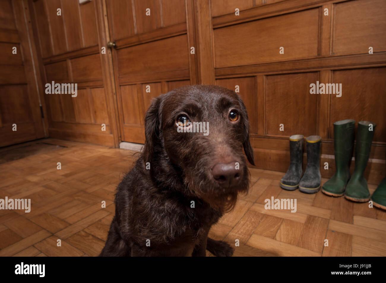 Hund im Flur warten Stockbild