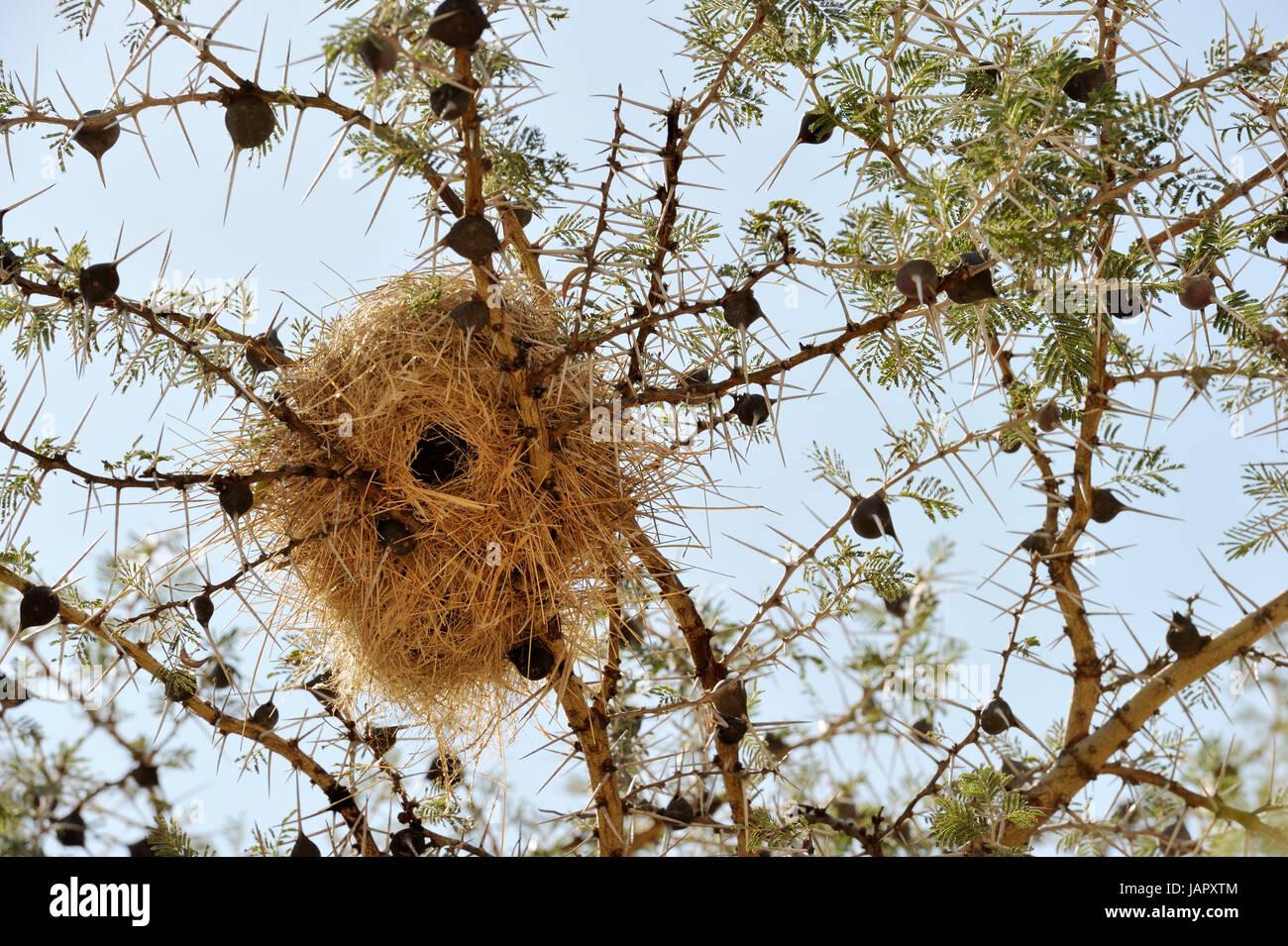 Pfeifender Dorn Akazie (Acacia Drepanolobium) hautnah mit Wevers Birdnest, typisch für die westlichen Korridor Stockbild