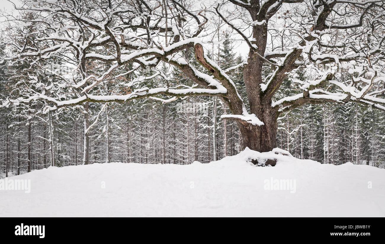 Sehr alte und große Eiche mit Winterstimmung tagsüber in Finnland Stockbild