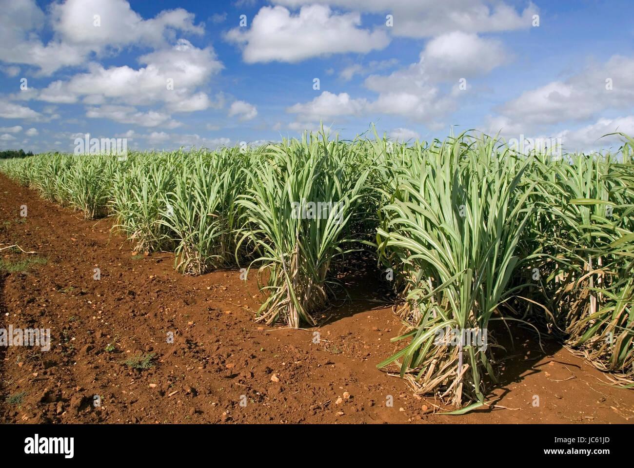 Kuba, Karibik, Zuckerrohr, Saccharum Officinarum, Kuba, Karibik, Zuckerrohr Stockbild