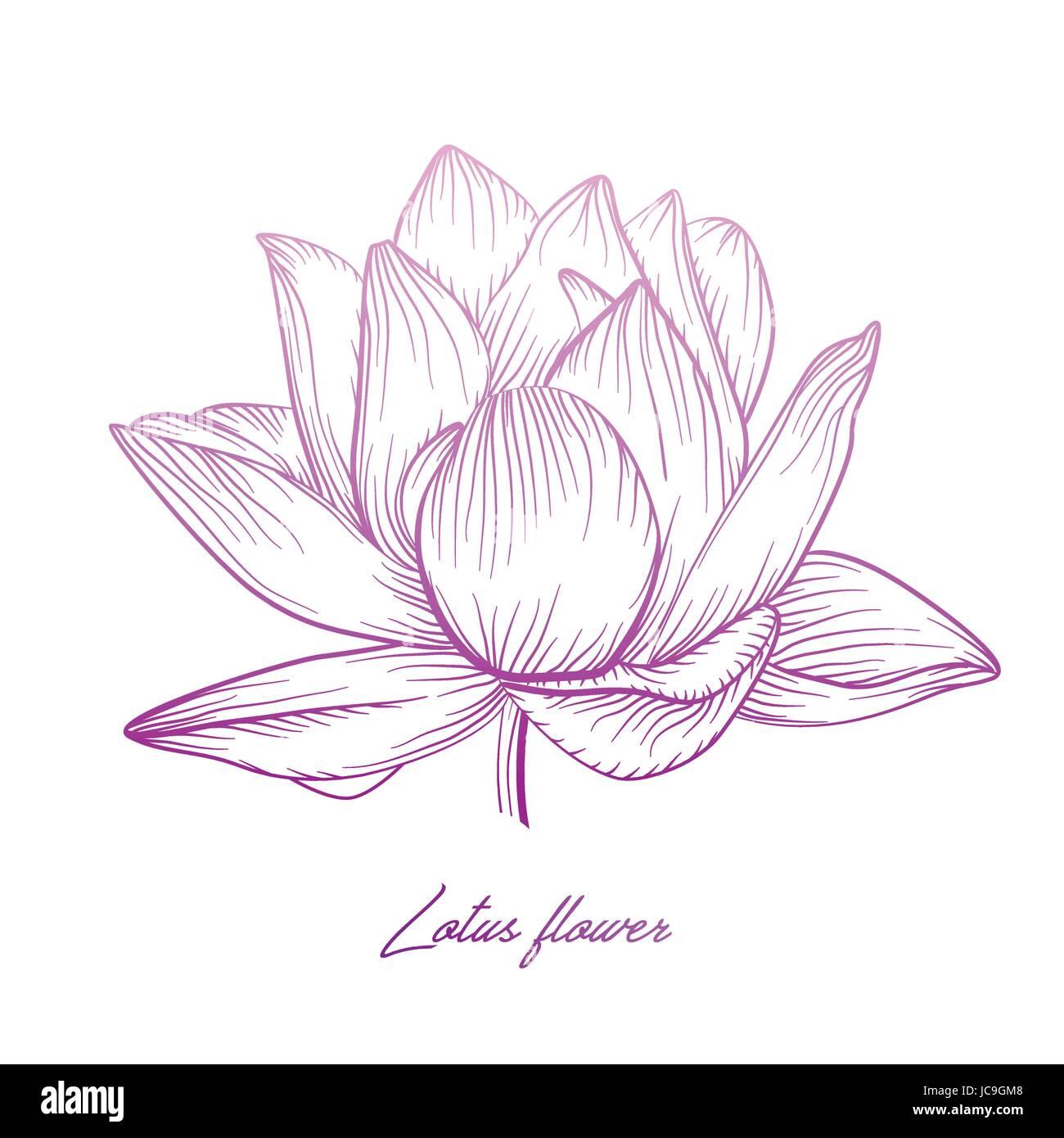 lotus seerose vektor sch ne blume bunt rosa lila weichen. Black Bedroom Furniture Sets. Home Design Ideas