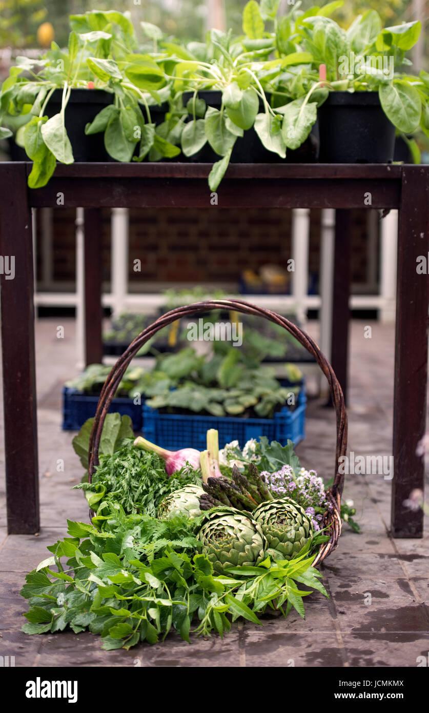 Korb mit frisch gepflückten Gemüse wie Artischocken, Knoblauch und Spargel in einem Gewächshaus UK Stockbild