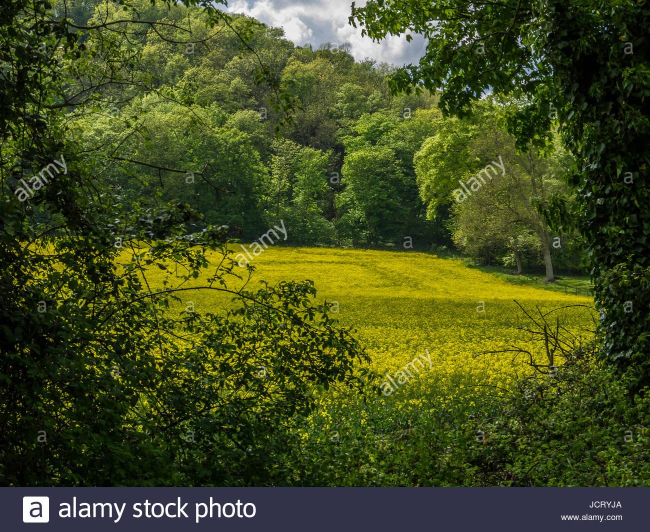 Öl Samen Vergewaltigung Feld Hampshire England. Stockbild