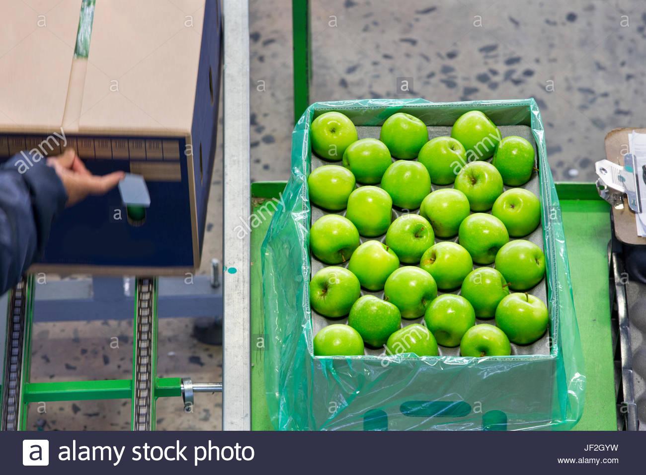 Arbeitnehmer, die Verpackung Äpfel in Boxen In Frucht-Aufbereitungsanlage Stockbild