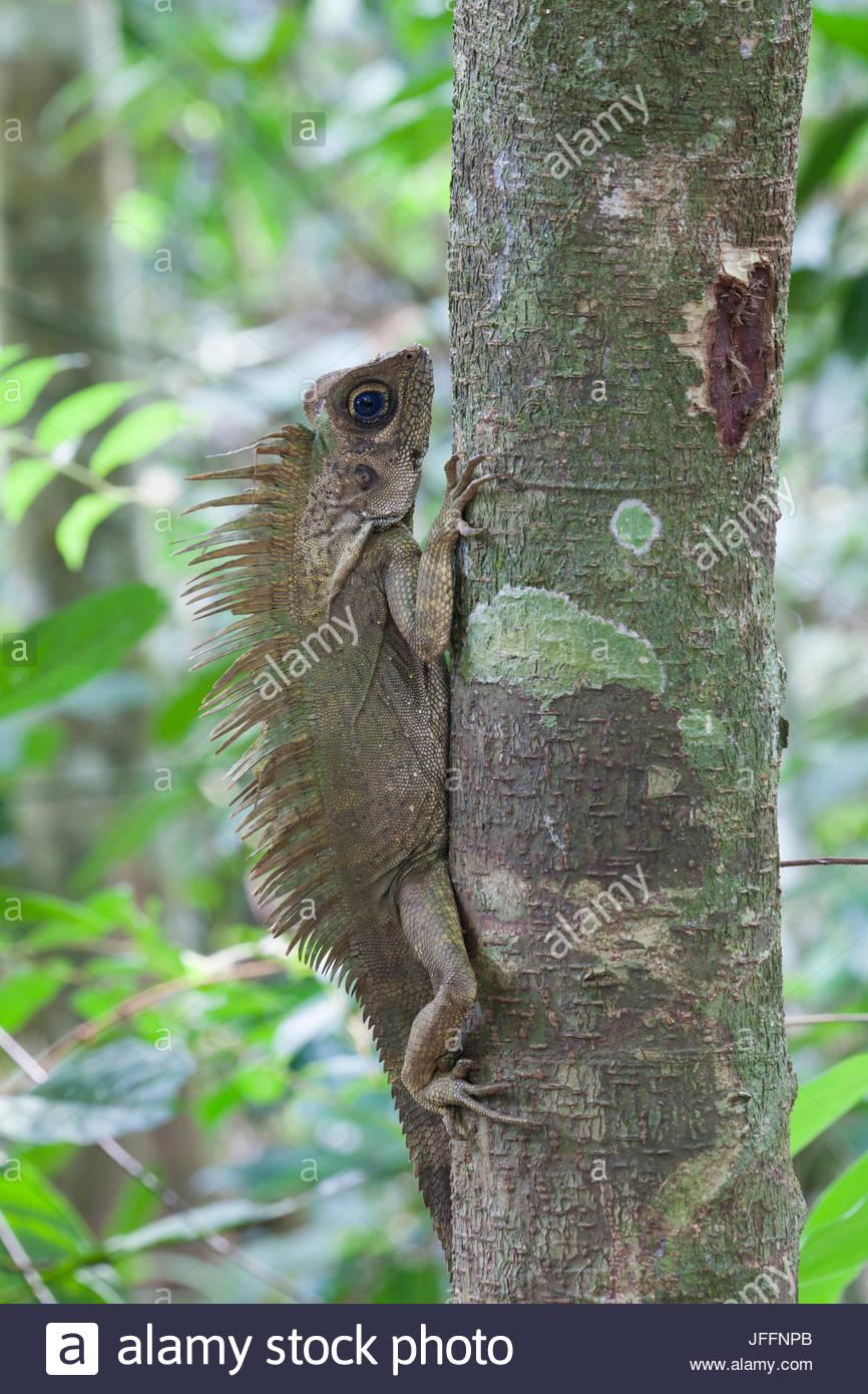 Porträt einer blauäugigen Winkel unter der Leitung Eidechse, Gonocephalus Liogaster, auf einem Baumstamm. Stockbild