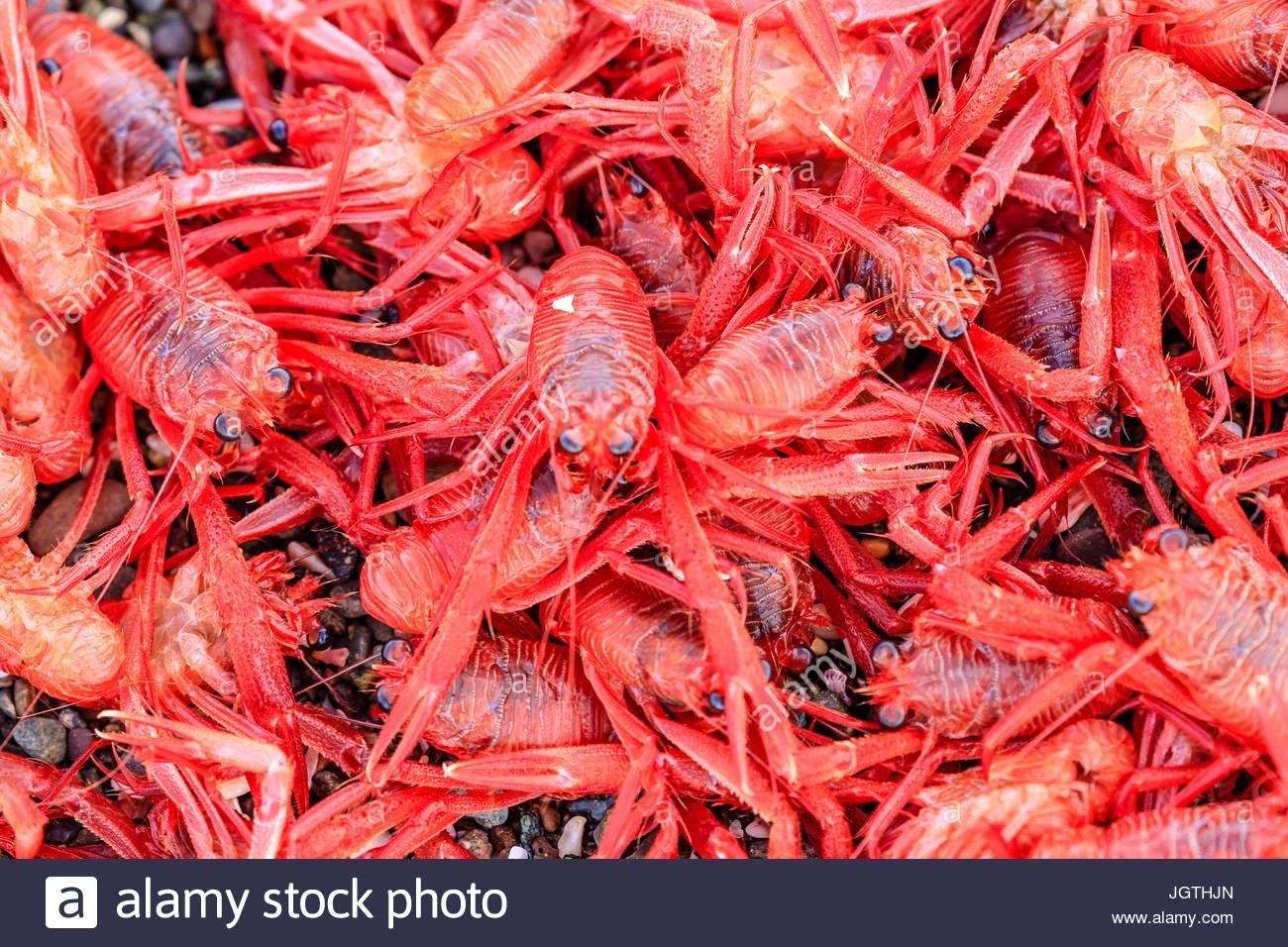 Eine Nahaufnahme von roten pelagischer Krebse. Stockbild