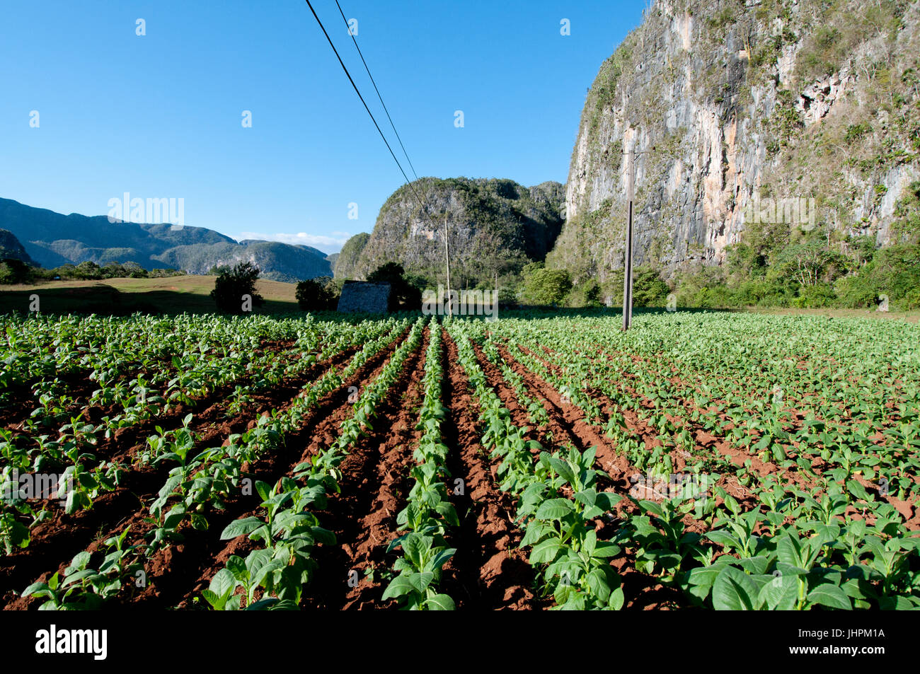 Kubanische Tabakfeld in der Nähe von Vinales, Kuba Stockbild