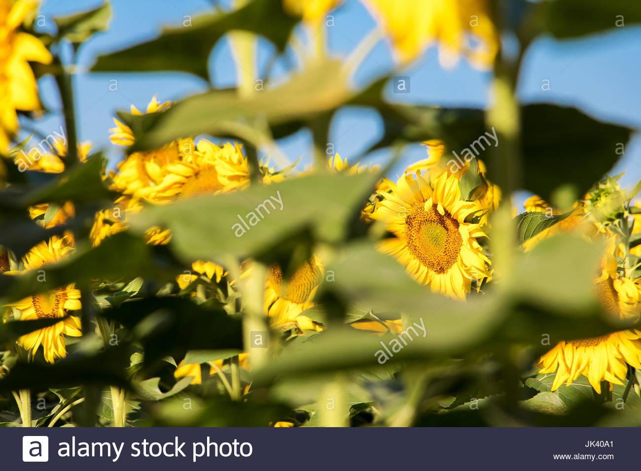Sonnenblume Bilder Sonnenblumen wachsen Farbe Blumen Frankreich Sonnenblumen Provence Sonnenblumen hoch modernen Stockbild