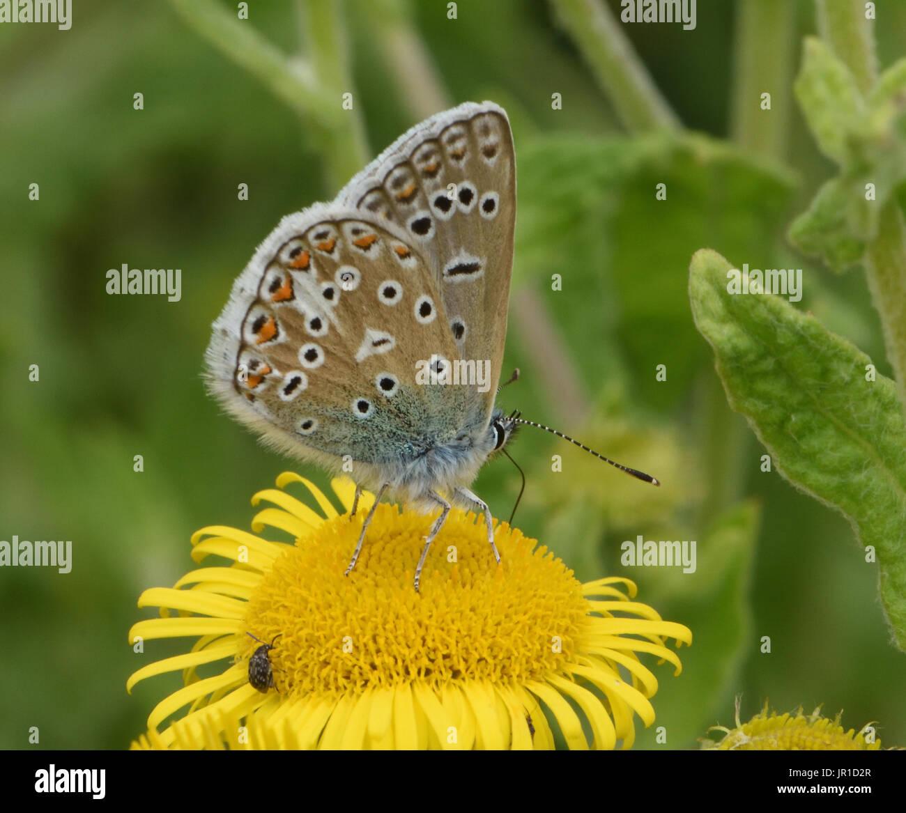 Ein Mannlicher Gemeinsame Blauer Schmetterling Polyommatus Icarus