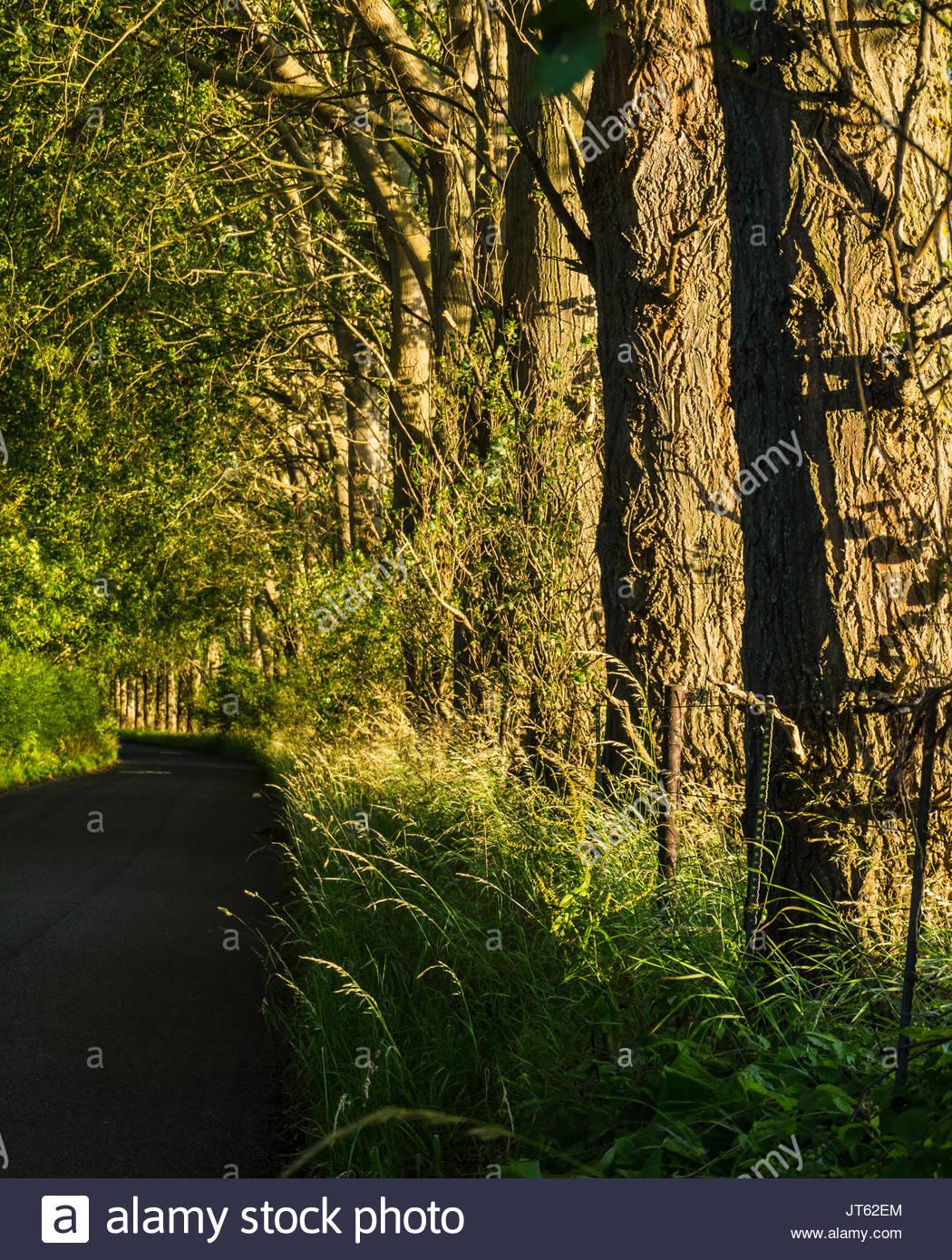 Alte Pappeln auf der Straße im Sommer Populus balsamifera Stockbild