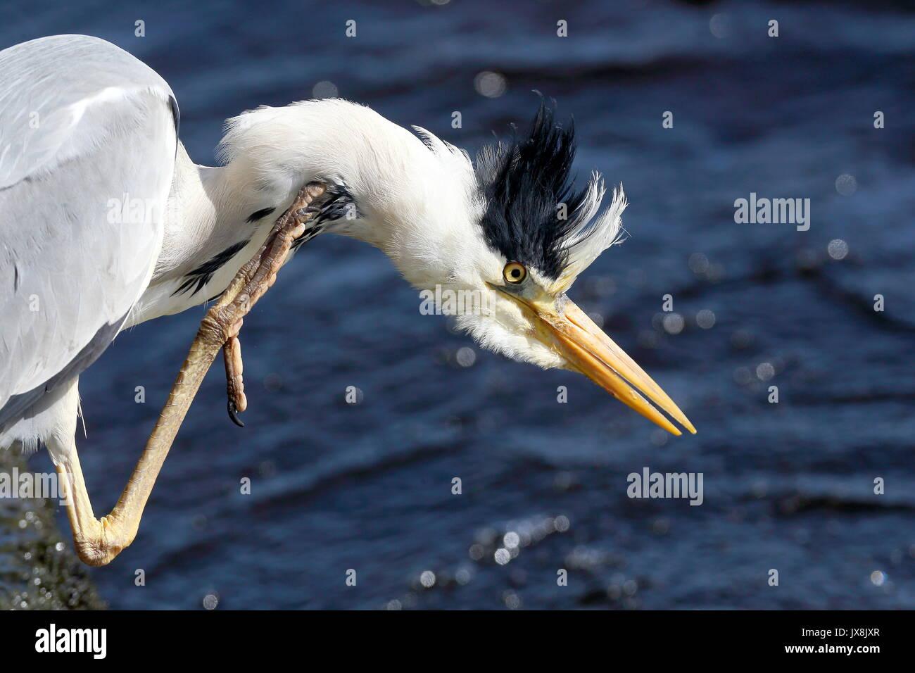 Heron Kratzen am Flussufer Stockbild