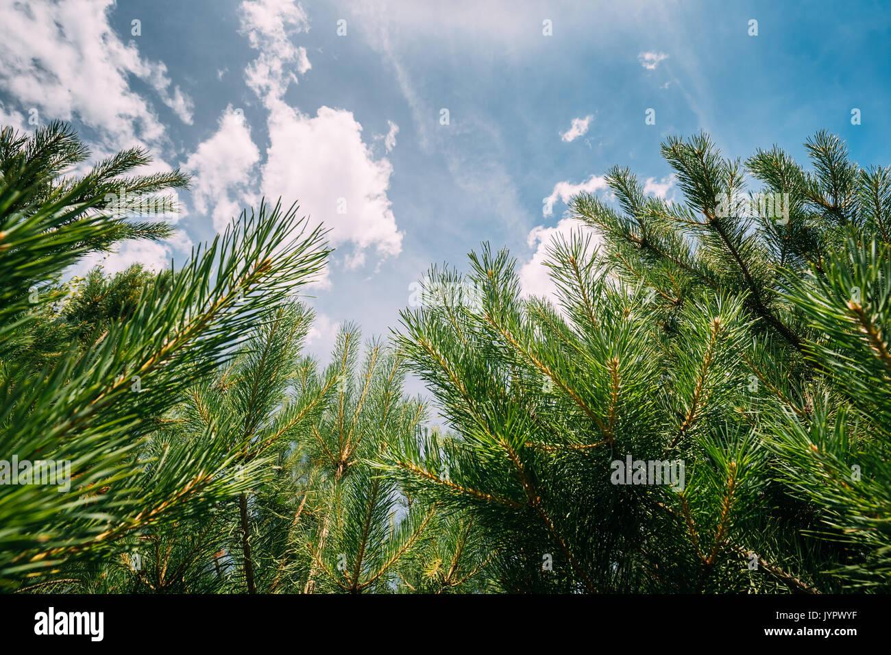 In der Nähe von Pine Zweige auf und blauer Himmel. Wald Wald. Stockbild