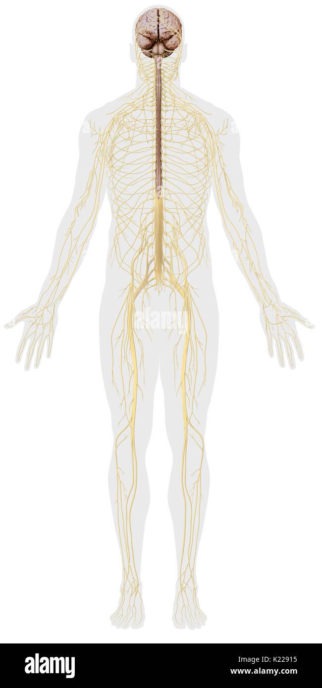 Das Nervensystem besteht aus zwei getrennten Einheiten mit ...
