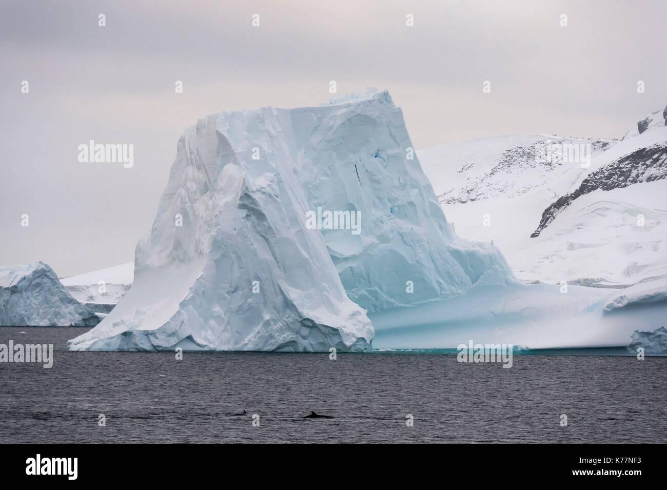 Antarktis Zwergwal (Balaenoptera bonaerensis), Lemaire Kanal, Antarktis Stockbild