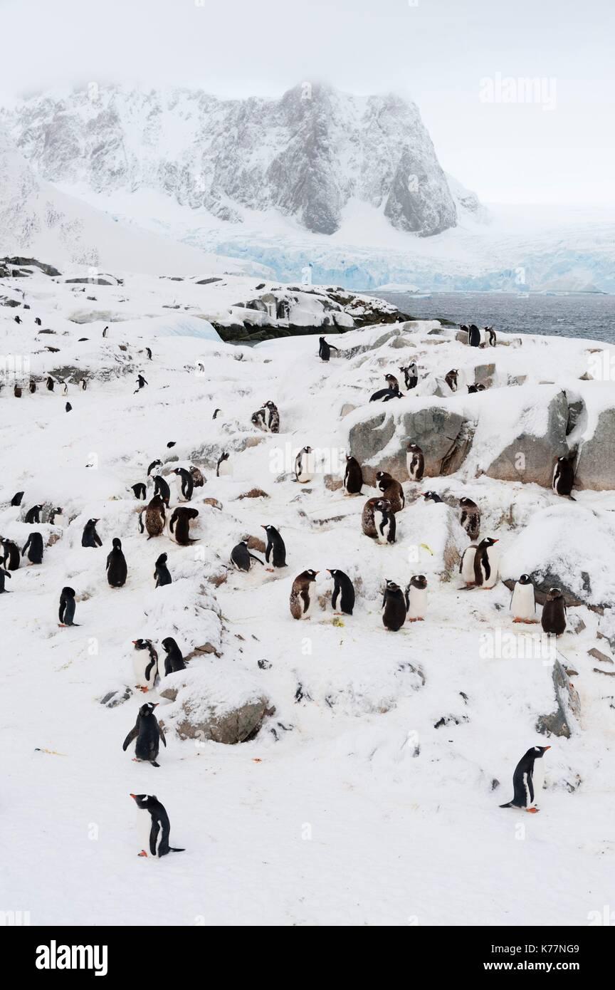 Gentoo-Pinguin-Kolonie (Pygoscelis Papua), Petermann Island, Antarktis Stockbild