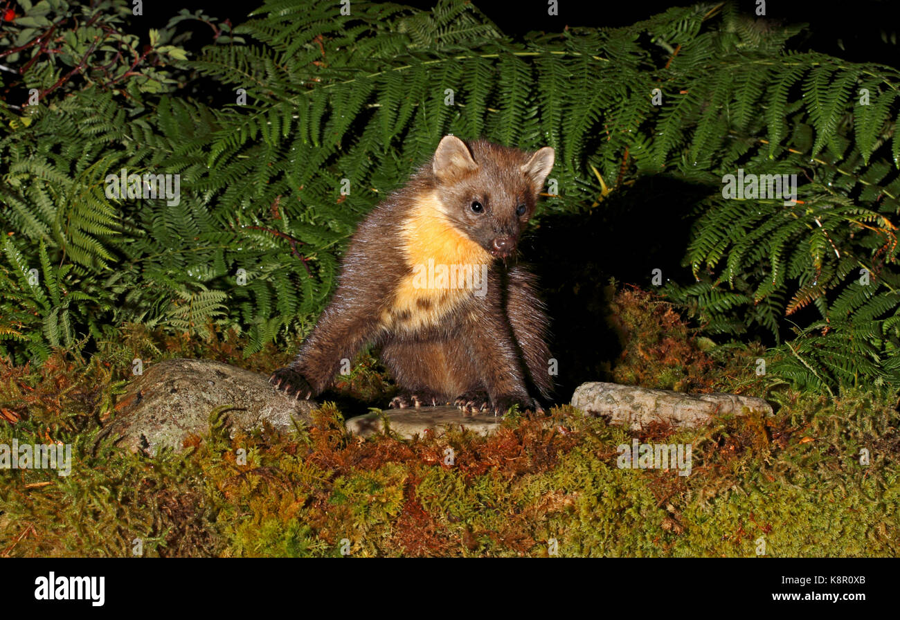 Pine marten Martes martes Baummarder stehend auf Felsen in Regen, Suchen nach Nahrung Nachts im Nationalpark, Oktober, Stockbild