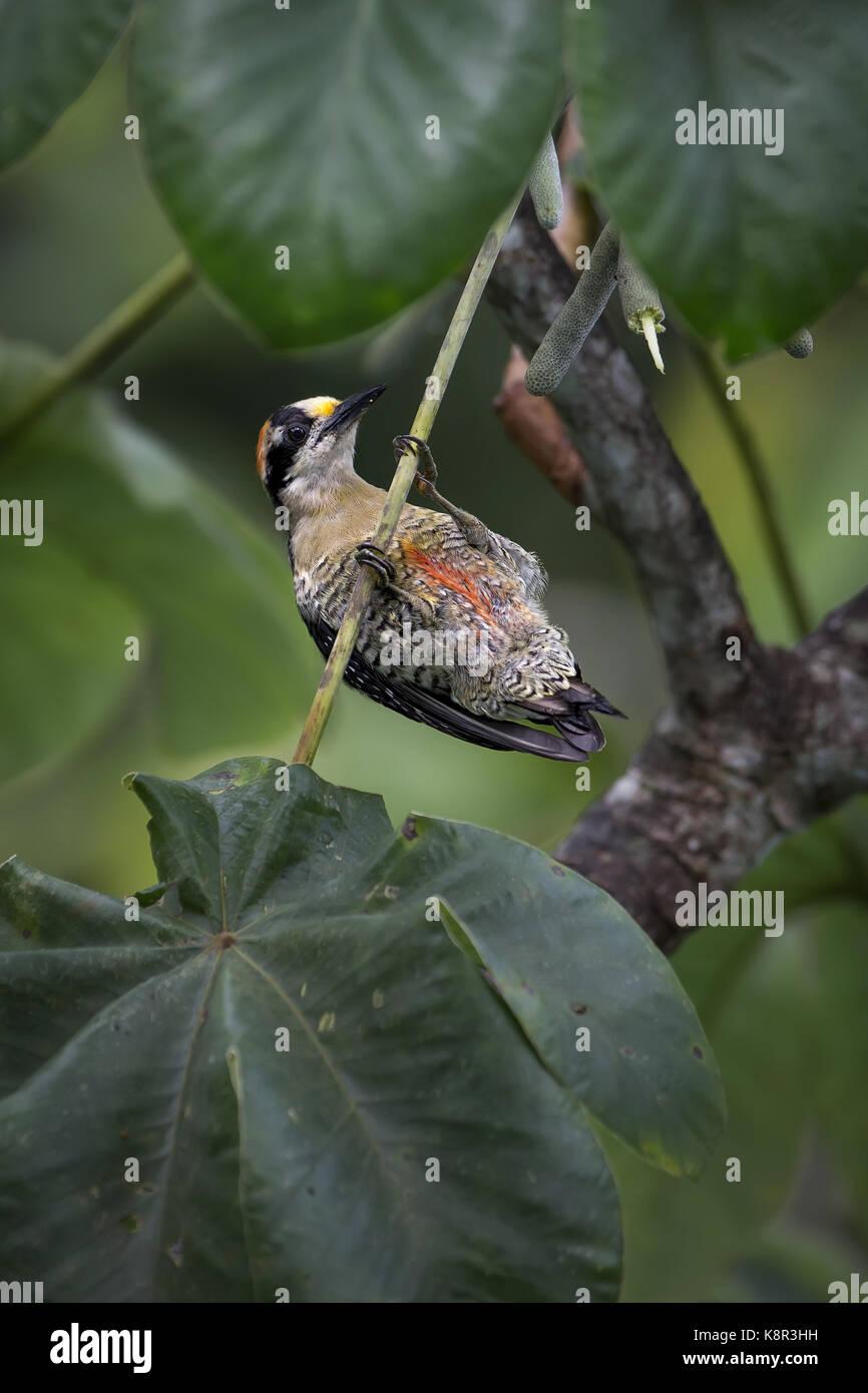 Schwarz ist Specht (Melanerpes pucherani), weiblich, hängend von cecropia tree branch, Panama, Juli Stockbild