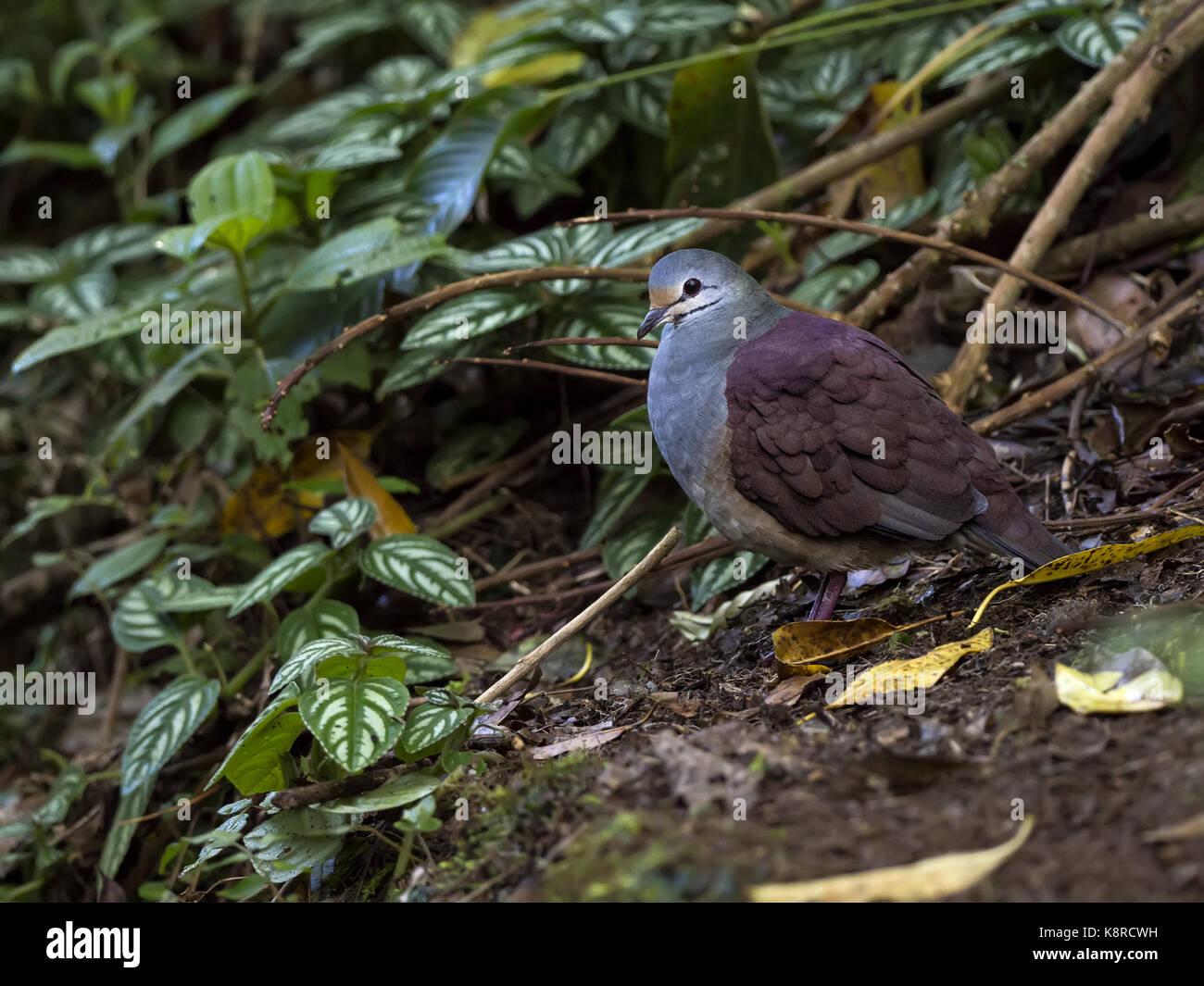 Buff-fronted Wachtel - Dove (Centrygon costaricensis), Chiriqu', Panama, Februar Stockbild