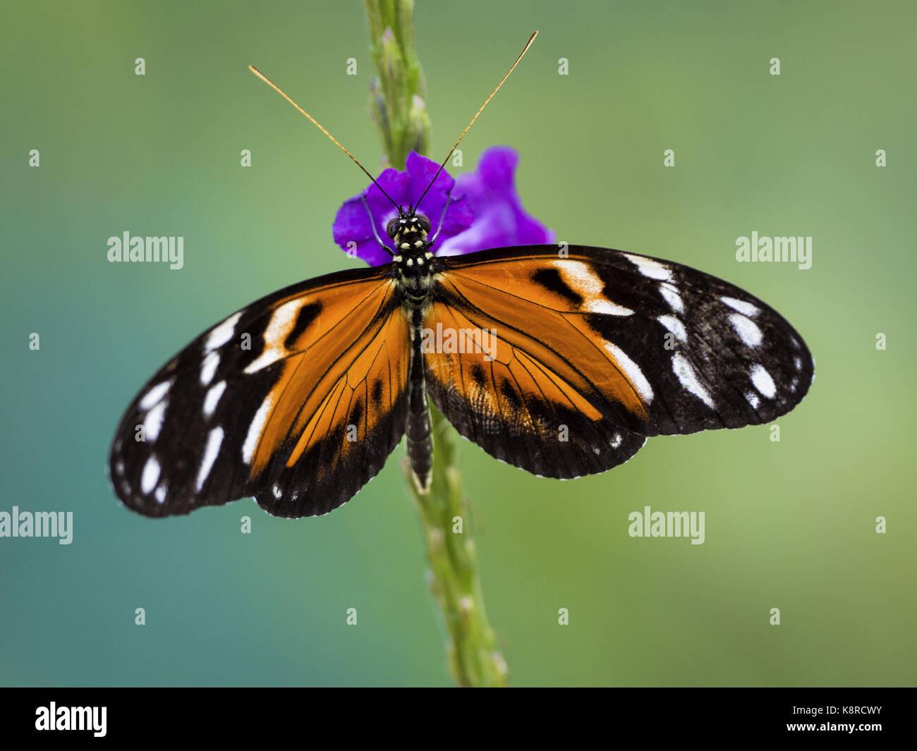 Heliconia spp. Schmetterling auf eisenkraut Blüte, Gamboa, Panama, Februar Stockbild
