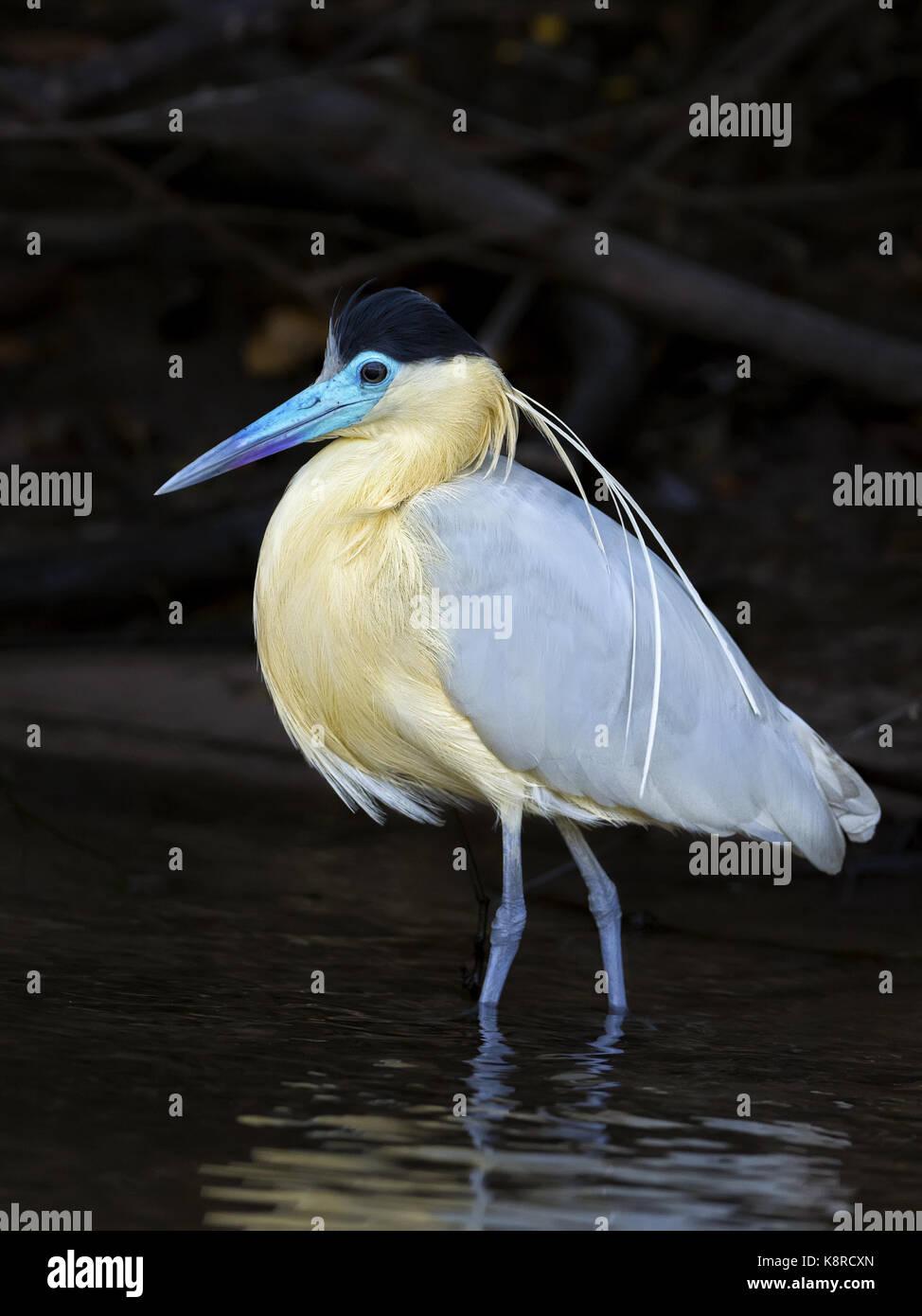 Heron (Pilherodius pileatus begrenzt), Mato Grosso, Brasilien, Juni Stockbild