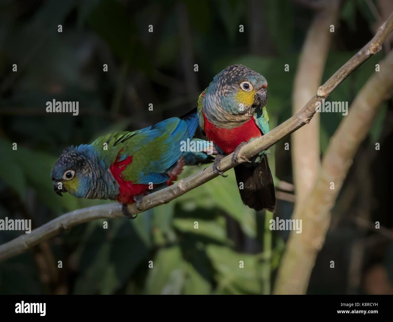 Crimson-bellied Parakeet (Pyrrhura Perlata), Paar, Mato Grosso, Brasilien, Juni Stockbild