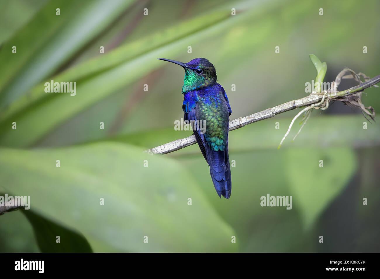 Gekrönt (Thalurania Woodnymph Colombica), männlich, Cerro Azul, Panama, Juli Stockbild