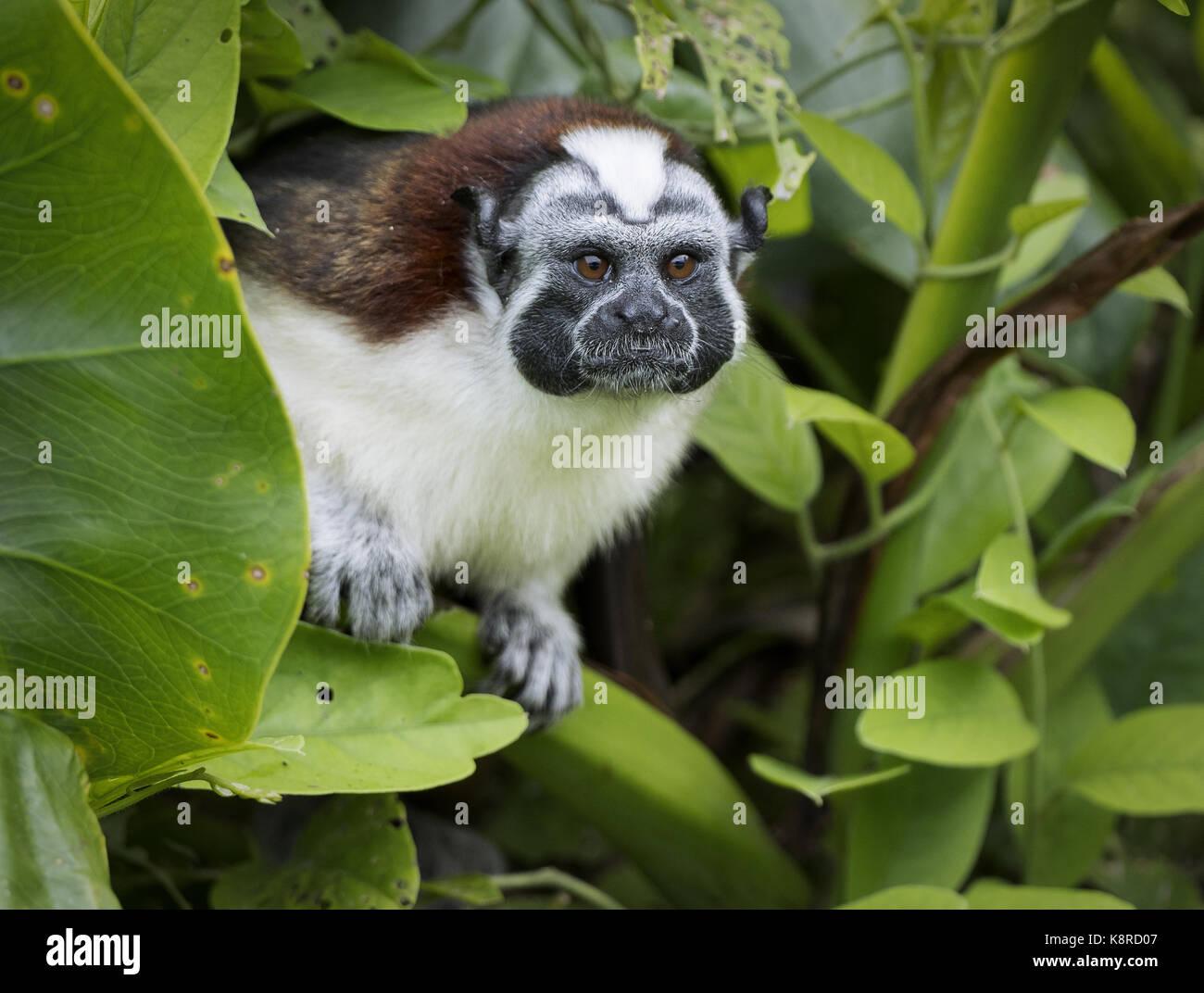 Geoffroy's Tamarin (Saguinus geoffroyi), lake Gatun, Panama Stockbild