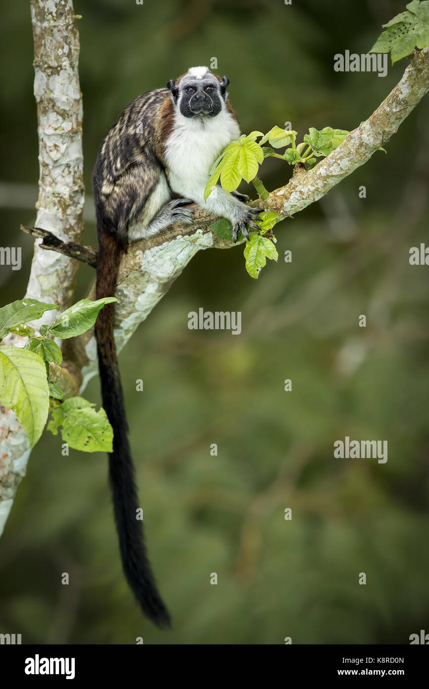 Geoffroy's Tamarin (Saguinus geoffroyi), Gamboa, Panama, November Stockbild