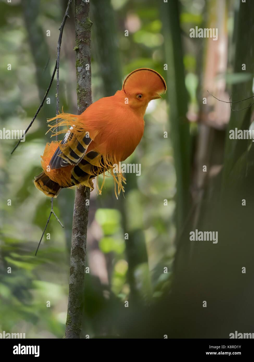 Guianan Cock-of-the-Rock (Rupicola rupicola), Männchen auf dem Lek, Amazonas, Brasilien, Juni Stockbild