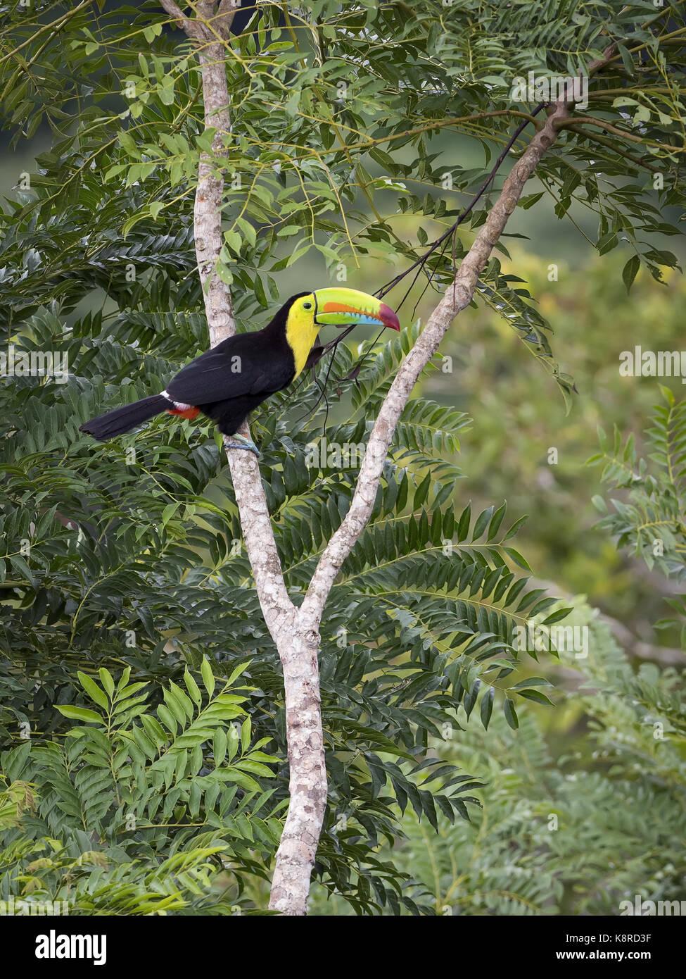 Kiel-billed Toucan (Ramphastos sulfuratus), Gamboa, Panama; Juni Stockbild