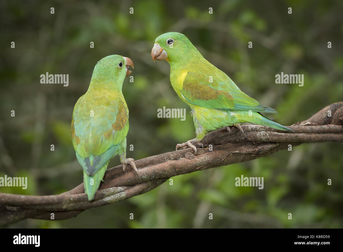 Orange, dass Parakeet (Sperlingsvögel jugularis), Paar, Gamboa, Panama, November Stockbild