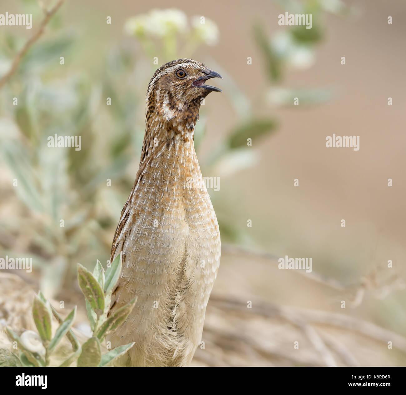 Gemeinsame Wachtel (Coturnix coturnix), männlicher, Aragon, Spanien, Mai Stockbild