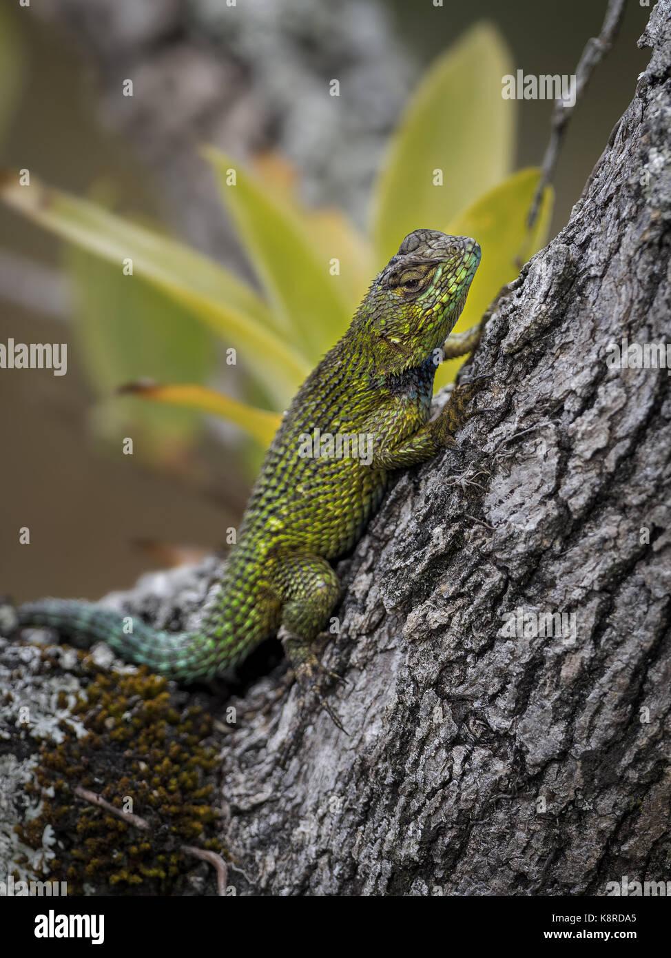 Emerald Swift Lizard (Sceloporus malachiticus), männlich, Chiriqui, Panama, März Stockbild