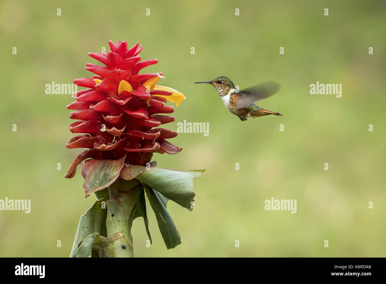 Funkelndes Kolibri (Selasphorus Scintilla), weibliche Fütterung auf Costus comosus Blume, Chiriqu', Panama, Stockbild