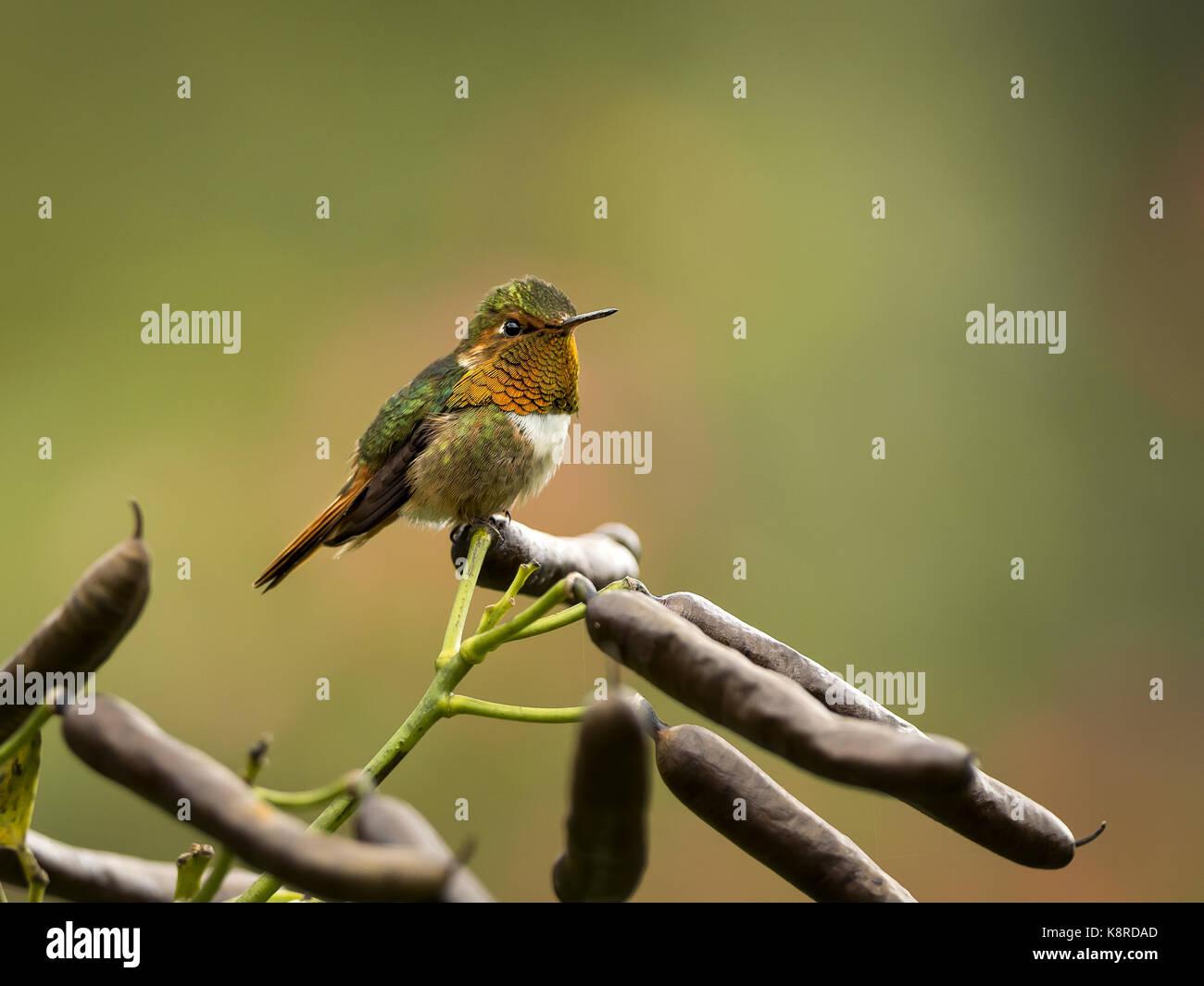 Funkelndes Kolibri (Selasphorus Scintilla), männlich, Chiriqu', Panama, Februar Stockbild